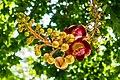 Cannonball Tree Couroupita guianensis Nagalingam flower Tamil Nadu India.jpg