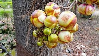 Couroupita guianensis - Image: Cannonball tree flower buds