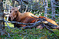 Cape breton highlands national park moose.JPG