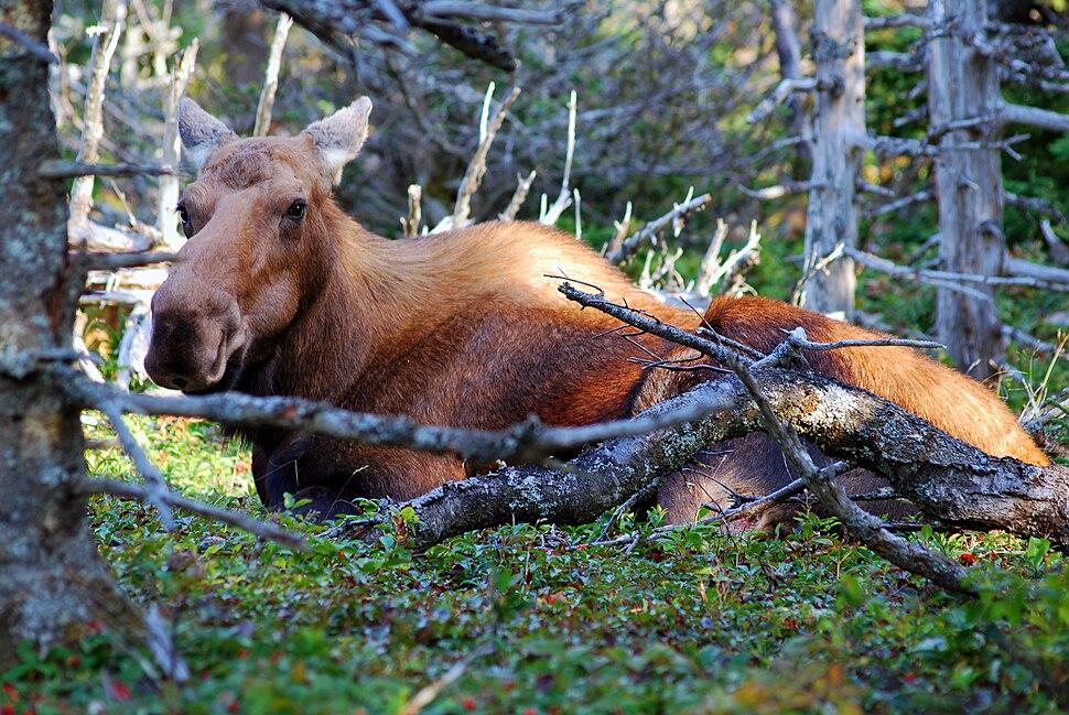 Cape breton highlands national park moose