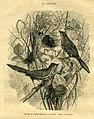 Capocier (13791266695).jpg