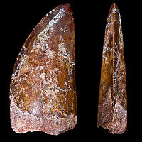Carcharodontosaurus saharicus DentIII.jpg