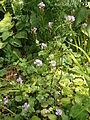 Cardamine raphanifolia 001.jpg