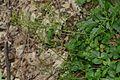 Cardamine trifolia (8260027379).jpg