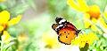 Careless butterfly.jpg