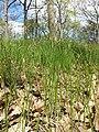 Carex praecox sl43.jpg
