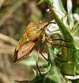 Carpocoris mediterraneus - Flickr - gailhampshire (4).jpg