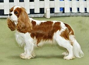 Cavalier King Charles Spaniel - Blenheim Cavalier King Charles Spaniel