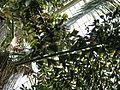 Caryota rumphiana - Fishtale Palm P1170557.JPG
