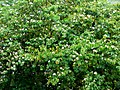 Casco de buey - Casco de vaca (Bauhinia variegata) (14965297048).jpg
