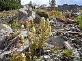 Castilleja sulphurea (8215545476).jpg
