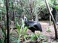 Casuarius casuarius -Sydney Wildlife World, Darling Harbour, Sydney, Australia-8a.jpg