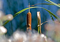 Cattails in summer at Lake Crystal in Morris.jpg