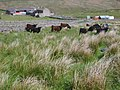 Cattle at Hope House Farm - geograph.org.uk - 449446.jpg