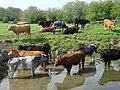 Cattle graze on Sudbury Common Lands - geograph.org.uk - 1023061.jpg