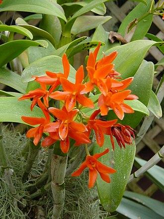 Guarianthe aurantiaca - Image: Cattleya aurantiaca 2