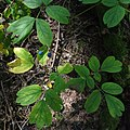 Caulophyllum giganteum SCA-03852.jpg