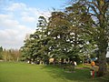Cedar Trees - geograph.org.uk - 649598.jpg