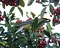 Cedar Waxwing (38676070390).jpg
