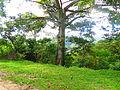 Ceiba típica de la flora de Huehuetla, Puebla 06.JPG
