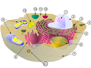 ncea level 1 science life processes wikibooks, open books for ana cell with a virus (virus labelled 14)