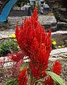 Celosia (Roja).jpg