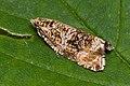 Celypha lacunana-01 (xndr).jpg