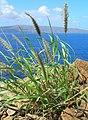 Cenchrus ciliaris USGS0.jpg