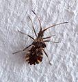 Centrocoris variegatus^ Hemiptera - Flickr - gailhampshire.jpg