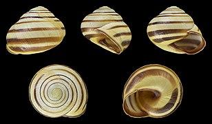 Cepaea nemoralis - Shell 33.jpg