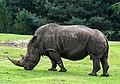 Ceratotherium simum - Serengeti-Park Hodenhagen 2017 04.jpg