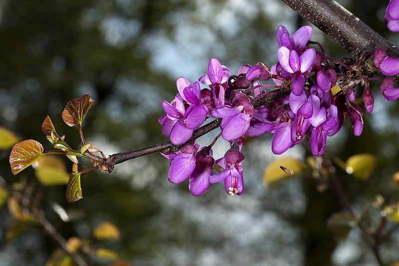 Bunga dan daun Cercis siliquastrum.