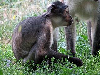 Sooty mangabey Species of mammal