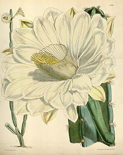 planche botanique du catus cierge