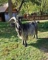 Chèvre (Capra aegagrus hircus) (30).jpg