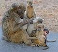 Chacma Baboons (Papio ursinus) family (33243345565).jpg