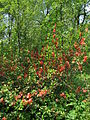 Chaenomeles japonica flowers 03.JPG
