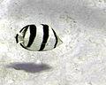 Chaetodon striatus (banded butterflyfish) (San Salvador Island, Bahamas) 1 (15549412684).jpg