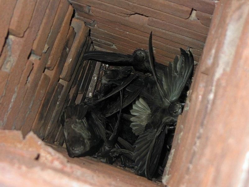 File Chaetura Pelagica Perryville Missouri Usa Chimney