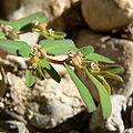 Chamaesyce serpyllifolia ssp serpyllifolia 3.jpg