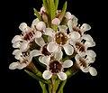 Chamelaucium sp. Walpole - Flickr - Kevin Thiele.jpg