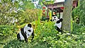 Charming pandas in the Chinese Garden. - Jolis pandas au Jardin Botanique de Montréal - panoramio.jpg