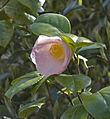 Chartwell flower (6250610575).jpg