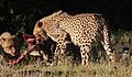Cheetah, Acinonyx jubatus, at Pilanesberg National Park, Northwest Province, South Africa. (27486910192).jpg