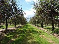 Cherries - panoramio (1).jpg