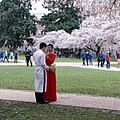 Cherry Blossoms University of Washington (33846956395).jpg