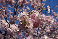 Cherry blossom @ Beaugrenelle @ Paris (26142240331).jpg