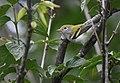 Chestnut-sided Warbler (43522422724).jpg