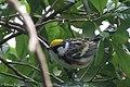 Chestnut-sided Warbler (male) Sabine Woods TX 2018-04-22 14-06-22 (41947597262).jpg