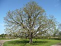 Chestnut leafing-up - geograph.org.uk - 766454.jpg